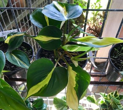 Philodendron hederaceum var.oxycardium - Philodendron Brazil