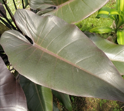 Philodendron - Philodendron