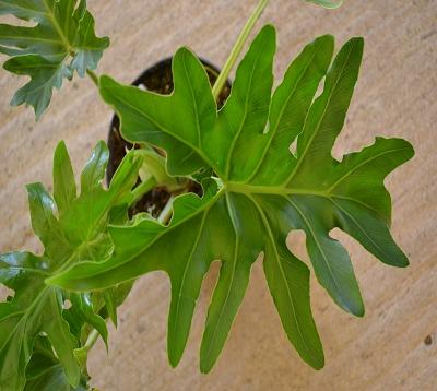Philodendron selloum - Philodendron selloum