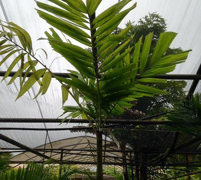 Ptychosperma elegans - Palmier ptychosperma
