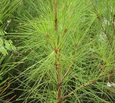 Pinus - Pin Caraïbes