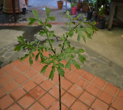 Dracontium asperum - Plante serpent