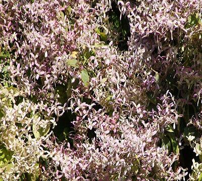 Congea tomentosa - Pluie d'Orchidées