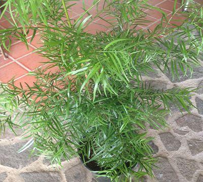 Podocarpus gracilior - Podocarpus gracilior