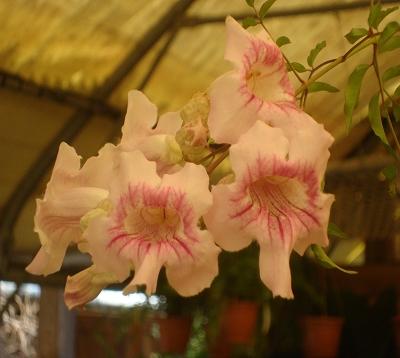 Podranea ricasolina - Liane orchidee - Bignone