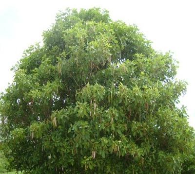 Tabebuia heterophylla - Poirier pays