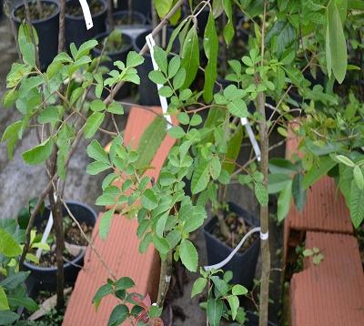 Schinus terebinthifolius - Poivre rose