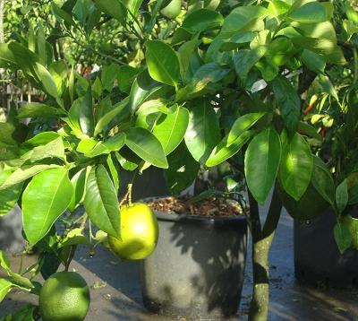 Citrus paradisi - Pomelo blanc - Pomelo marsh seedless