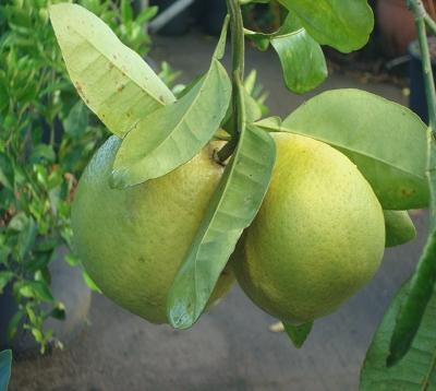 Citrus paradisi - Pomelo rose - Pomelo red blush