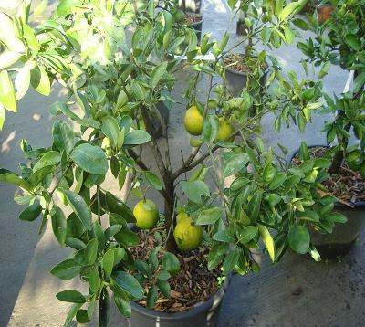 Citrus paradisi - Pomelo rouge - Pomelo star ruby