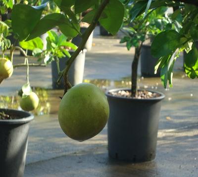 Citrus paradisi - Pomelo sweety