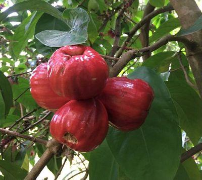 Syzigium malaccense - Pomme d'eau