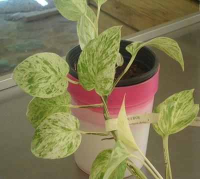 Scindapsus aureus - Pothos panaché
