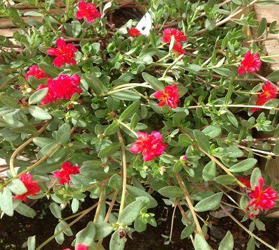 Portulaca oleracea grandiflora - Pourpier