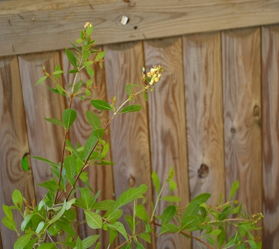 Lawsonia inermis - Réséda