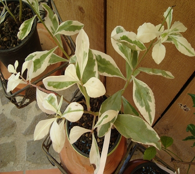 Rhamnus alaternus variegata - Rhamnus panaché