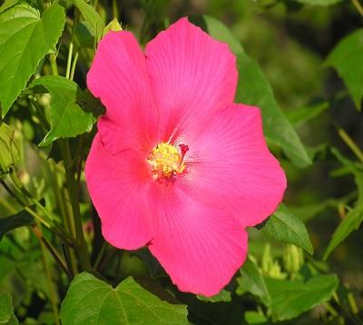 Hibiscus mutabilis - Rose merveilleuse