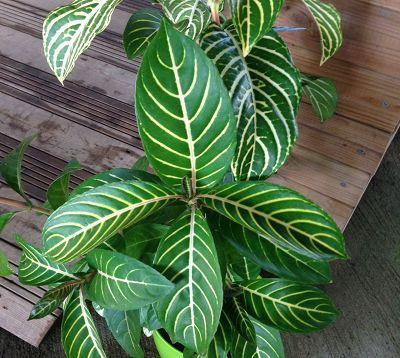 Sanchezia speciosa ou nobilis - Sanchezia