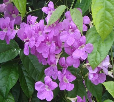 Arrabidaea saritea magnifica - Saritea - Bigoniacées