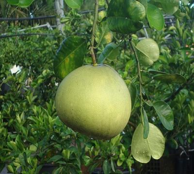 Citrus maxima - Schadeck blanc - Pamplemousse reinking