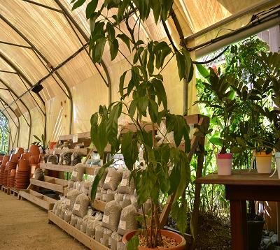 Schefflera actinophylla - Schefflera arbre