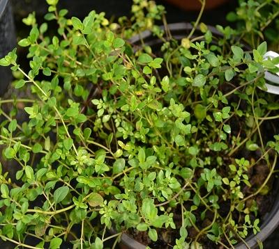 Thymus serpyllum - Serpolet