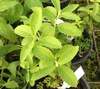 Stevia rebaudiana - Stévia