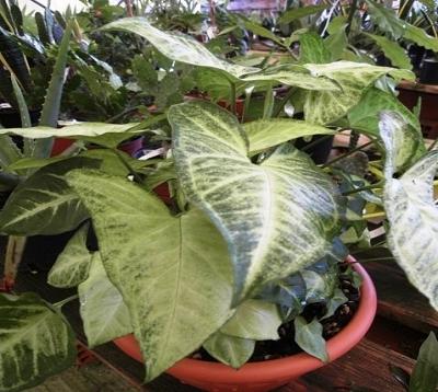 Syngonium podophyllum - Syngonium