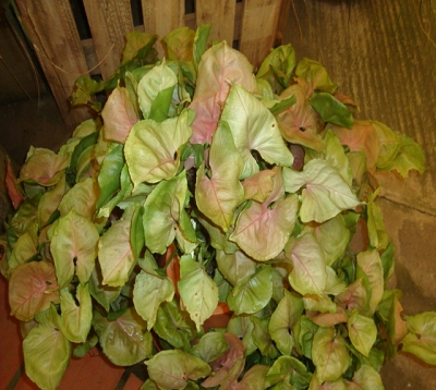 Syngonium podophyllum - Syngonium rose