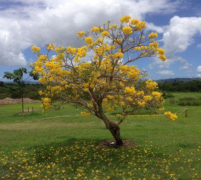 Tabebuia argentea - Tabebuia argentea