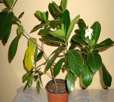 Gardenia taitensis - Tiaré