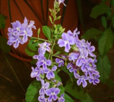 Duranta repens - Vanillier de cayenne violet