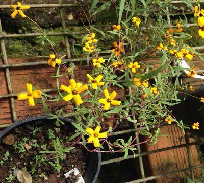 Zinnia angustifolia - Zinnia rampant