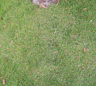Zoyzia tenuifolia - Zoyzia
