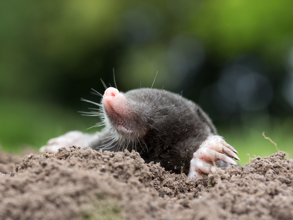 Caring for Your Turf After Moles Visit