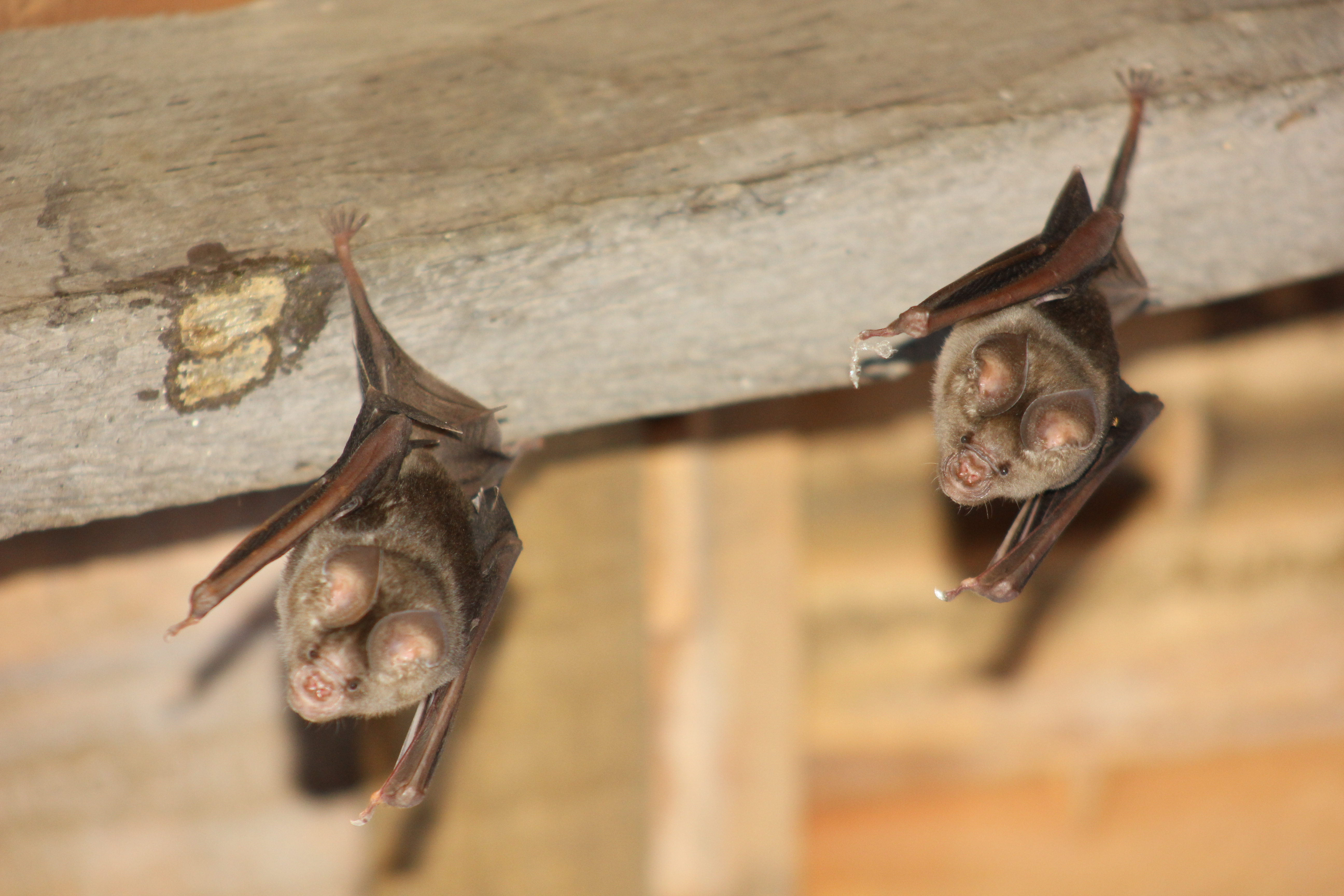 Picture of Bats in the Roof