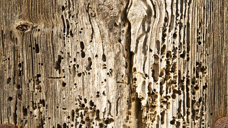 Woodworm Experts