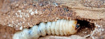 Professional Woodworm Treatment